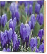 Purple Crocuses Wood Print