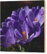 Purple Crocuses On A Spring Day Wood Print