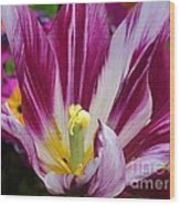 Purple Dual Coloured Tulip Wood Print