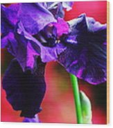 Purple Dutch Iris Wood Print