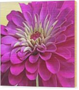 Purple Giant Zinnia Wood Print