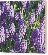 Purple Grape Hyacinth  Wood Print