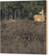 Purple Heather In The Background A Female Deer Netherlands Wood Print