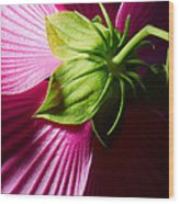 Purple Hibiscus Shot From Behind. Wood Print