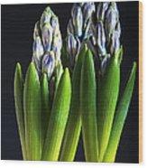 Purple Hyacinth Ready For Spring. Wood Print