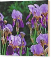 Purple Iris Bliss Wood Print