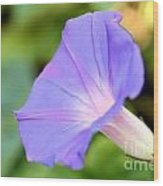 Purple Morning Glory Wood Print