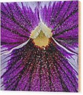 Purple Pansy In Pollen Wood Print