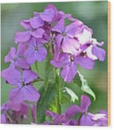 Purple Phlox Wood Print