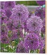 Purple Pom Poms Wood Print