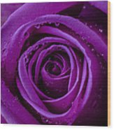 Purple Rose Close Up Wood Print