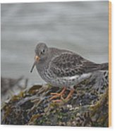 Purple Sandpiper 2 Wood Print