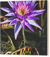 Purple Star Water Lily  By Diana Sainz Wood Print