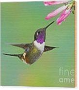 Purple-throated Woodstar Wood Print