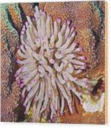 Purple Tip Anemone Wood Print