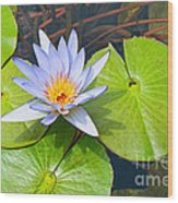 Purple Water Lily In Pond. Wood Print