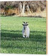 Pygmy Goat Wood Print