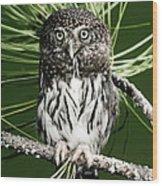 Pygmy Owl Wood Print