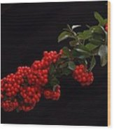 Pyracantha Berries On Black - Pennsylvania Wood Print