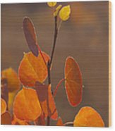 Quaking Aspen In Color   #3749 Wood Print