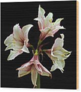 Quartet Of Amaryllis. Wood Print