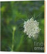 Queen Anne S Lace Single Wood Print