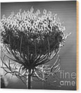 Queen Annes Lace - Bw Wood Print