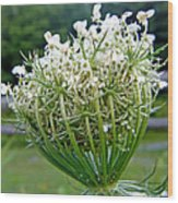 Queen Anne's Lace Flower Unfolded Wood Print
