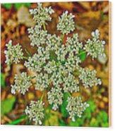 Queen Anne's Lace Or Wild Carrot Near Alamo-michigan Wood Print