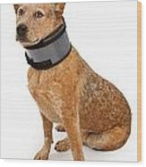 Queensland Heeler Dog Wearing A Neck Brace Wood Print by Susan Schmitz
