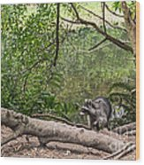 Raccoon At The Lake Wood Print