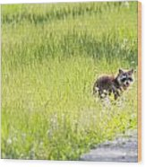 Raccoon In Green Field Wood Print