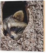 Raccoon In Tree Wood Print