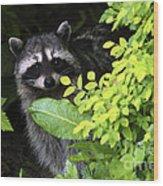Raccoon Peek-a-boo Wood Print