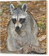 Raccoon Procyon Lotor Adult Foraging Wood Print