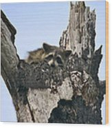 Raccoon Waiting. Lake Marion Creek W.m.a. Wood Print