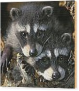 Raccoon Young Procyon Lotor In Tree Wood Print