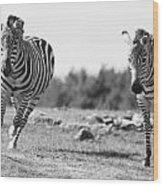 Racing Zebras Wood Print