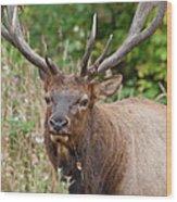 Racked Roosevelt Elk Wood Print