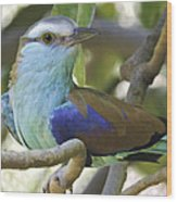 Racket Tailed Roller Wood Print