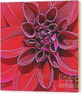 Radiant In Red - Dahlia Wood Print