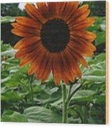 Radiant Sunflower  Wood Print