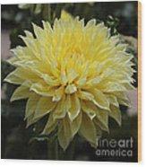 Radiant Yellow Dahlia Wood Print
