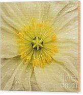 Rain Drenched Yellow Poppy Wood Print