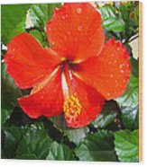 Rain Kissed Hibiscus Beauty Wood Print by Ella Char