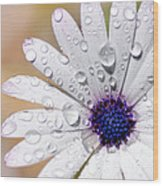 Rain Soaked Daisy Wood Print