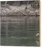Rainbow Trout Jumping Way Out Of The Water Wood Print
