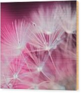 Raindrops On Dandelion Magenta Wood Print