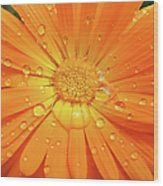 Raindrops On Orange Daisy Flower Wood Print