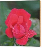 Raindrops On Rosebud Wood Print